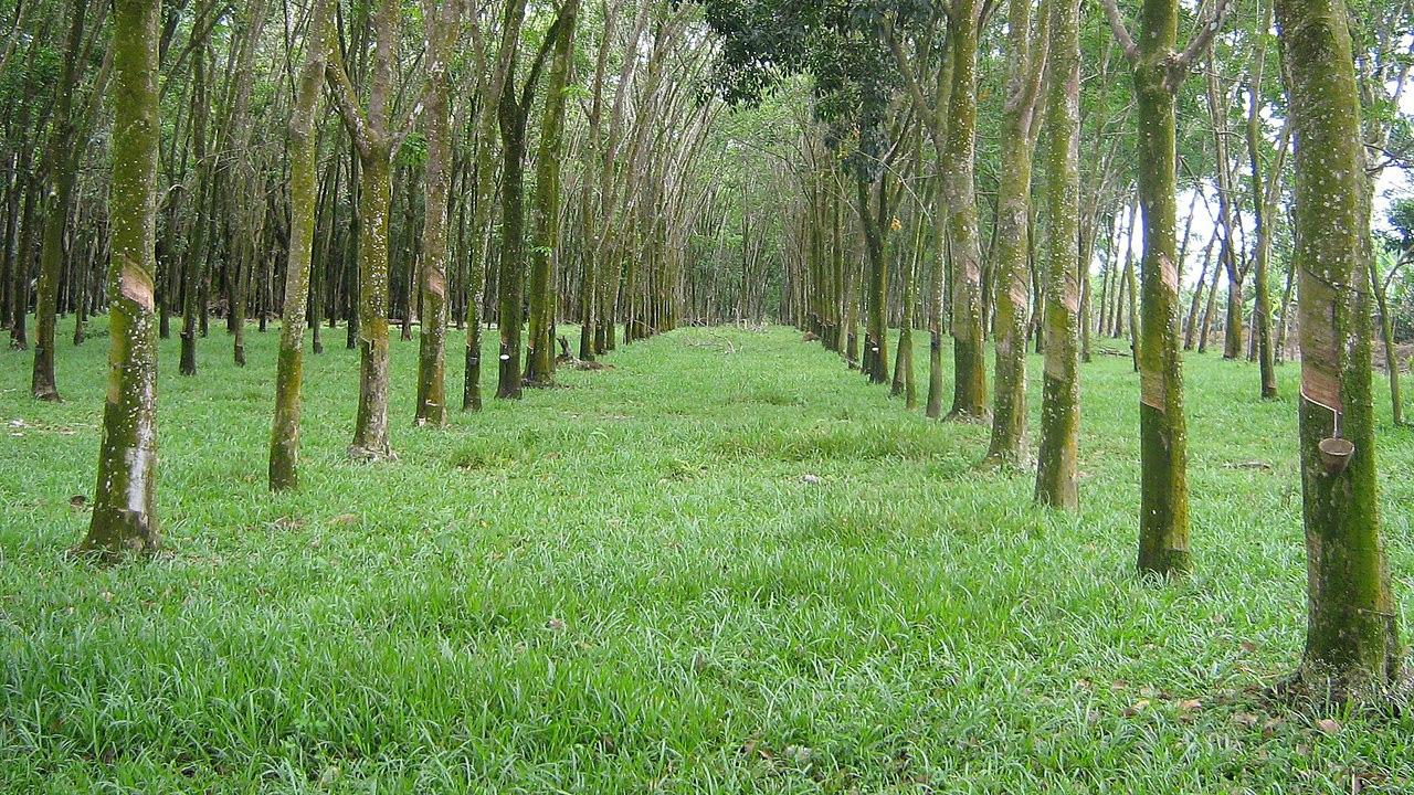 Kautschukbäume